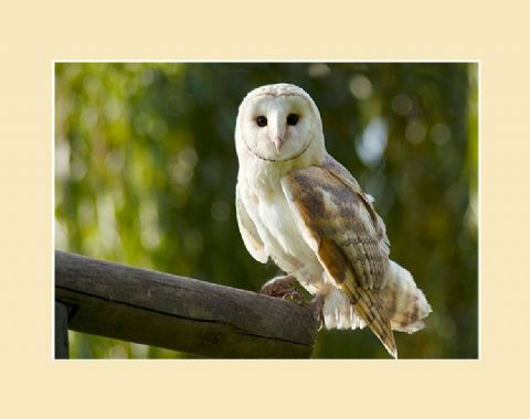 Sunset Barn Owl Photographic Print
